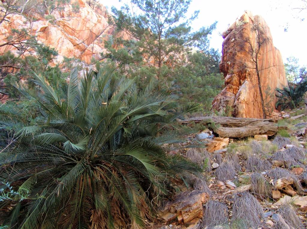 MacDonnell Ranges Cycad at Angkerle Atwatye (Standley Chasm)