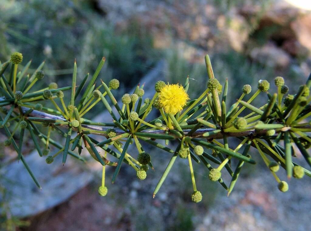 Dead Finish (Acacia tetragonophylla), Alice Springs Desert Park