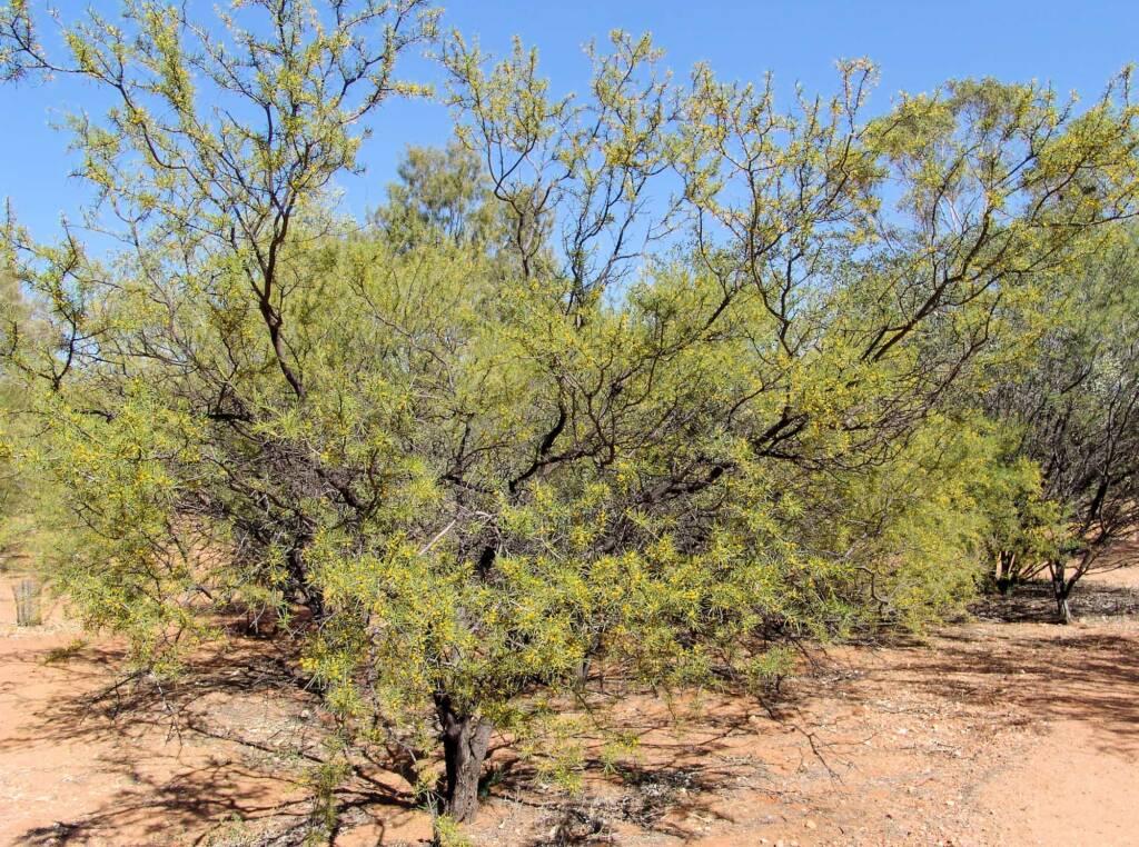 Dead Finish (Acacia tetragonophylla), Olive Pink Botanic Garden
