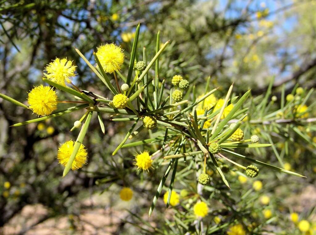 Dead Finish (Acacia tetragonophylla)