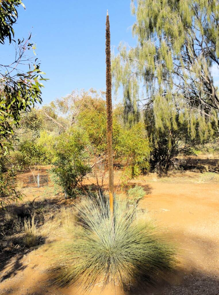 Desert Grass Tree (Xanthorrhoea Thorntonii)