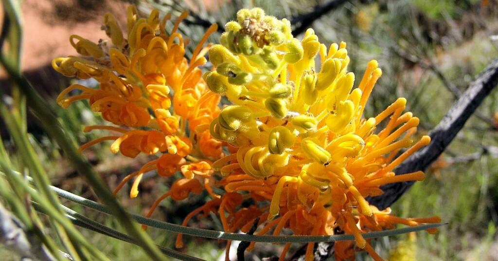 Desert Grevillea (Grevillea juncifolia), Alice Springs Desert Park