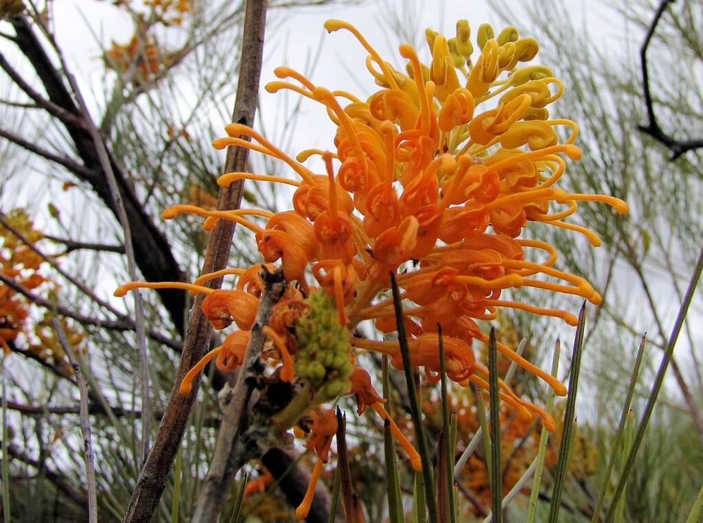 Desert Grevillea (Grevillea juncifolia)
