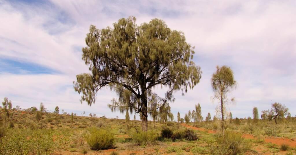 Adult Desert Oaks (Allocasuarina decaisneana)