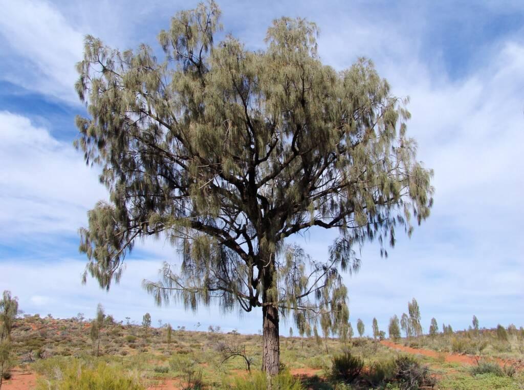 Adult Desert Oak (Allocasuarina decaisneana)