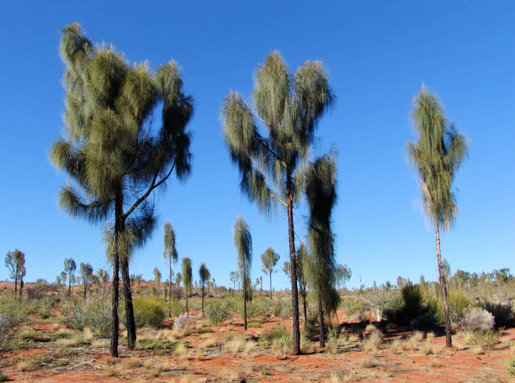 Young adult Desert Oaks (Allocasuarina decaisneana)