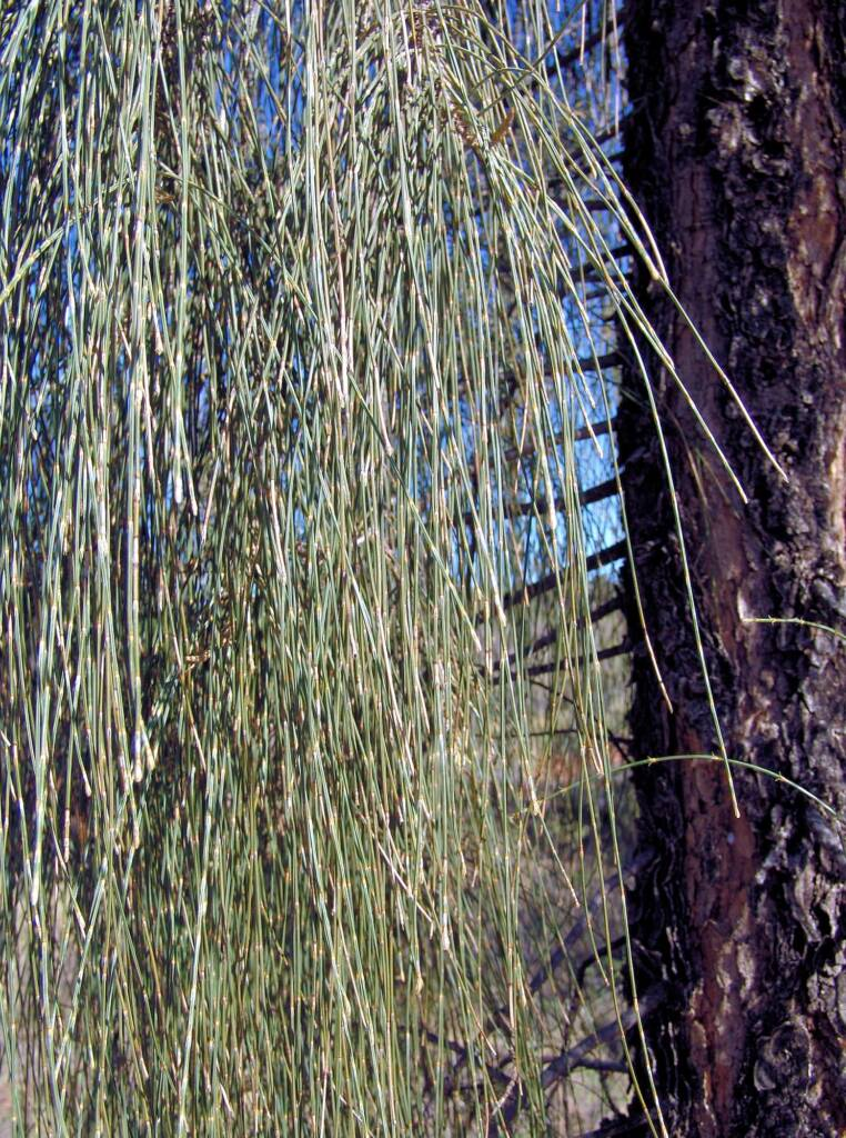 Modified leaves of Desert Oak