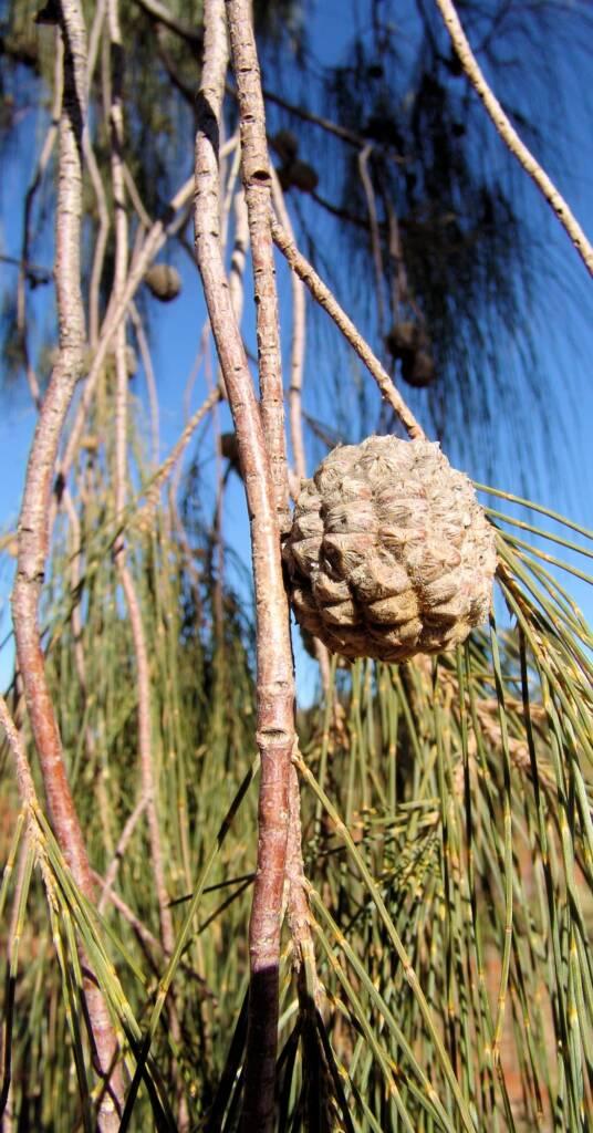 Desert Oak cones and seed pods (Allocasuarina decaisneana)