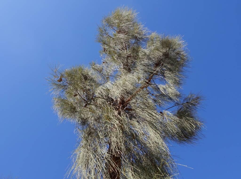 Desert Oak (Allocasuarina decaisneana), Alice Springs Desert Park