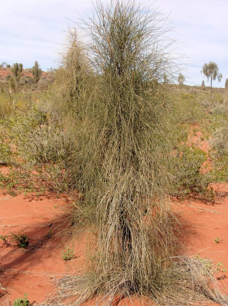 Juvenile Desert Oak (Allocasuarina decaisneana)