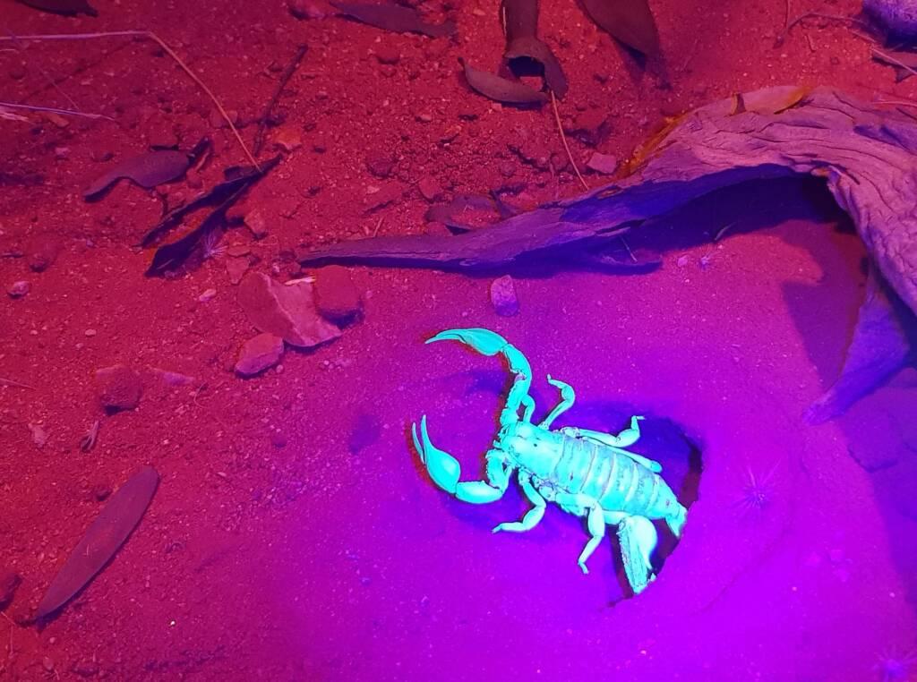Desert Scorpion (Urodacus yaschenkoi)
