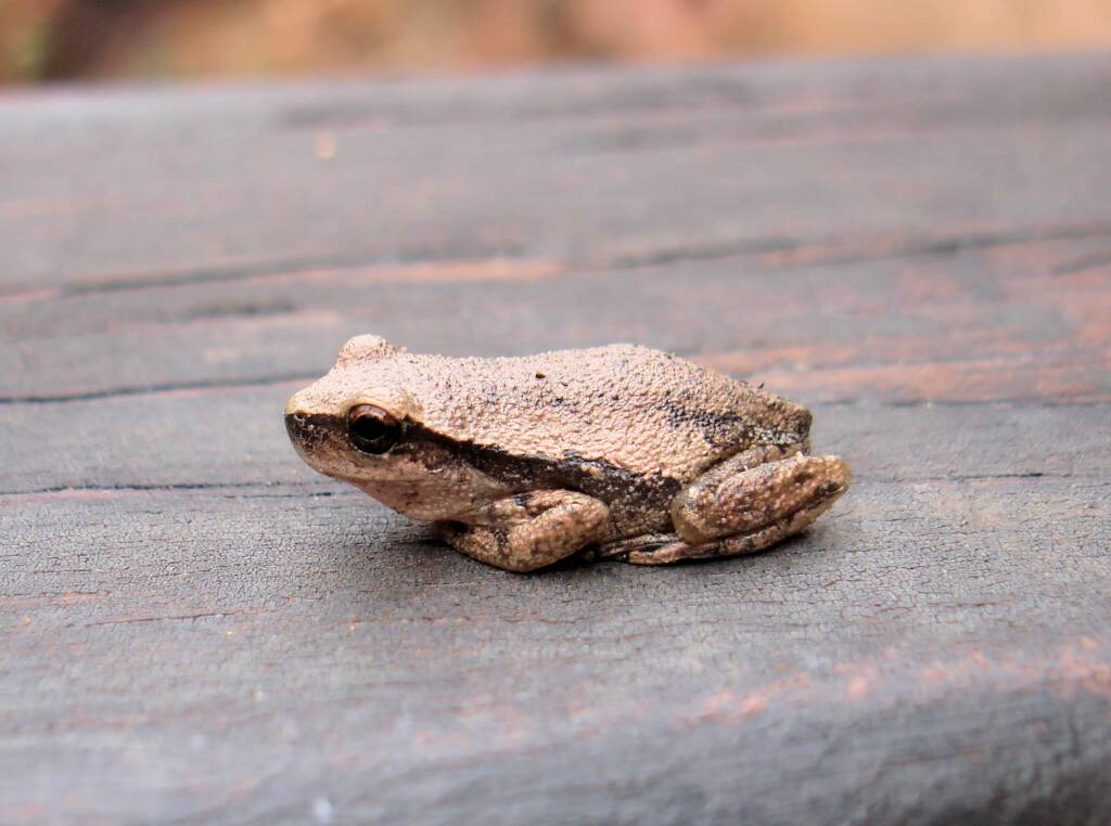 Desert Tree Frog, Kings Canyon