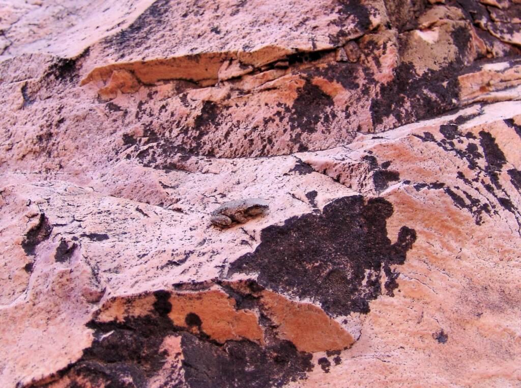 Desert Tree Frog (Litoria rubella), Simpsons Gap, NT