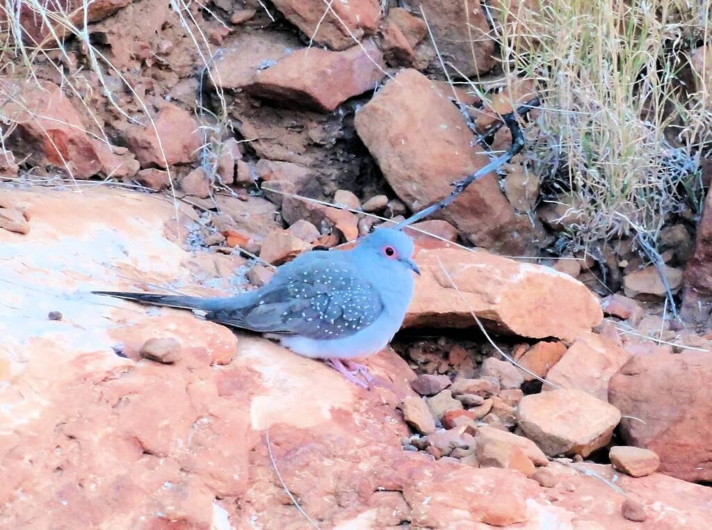 Diamond Dove (Geopelia cuneata), Ormiston Gorge, NT