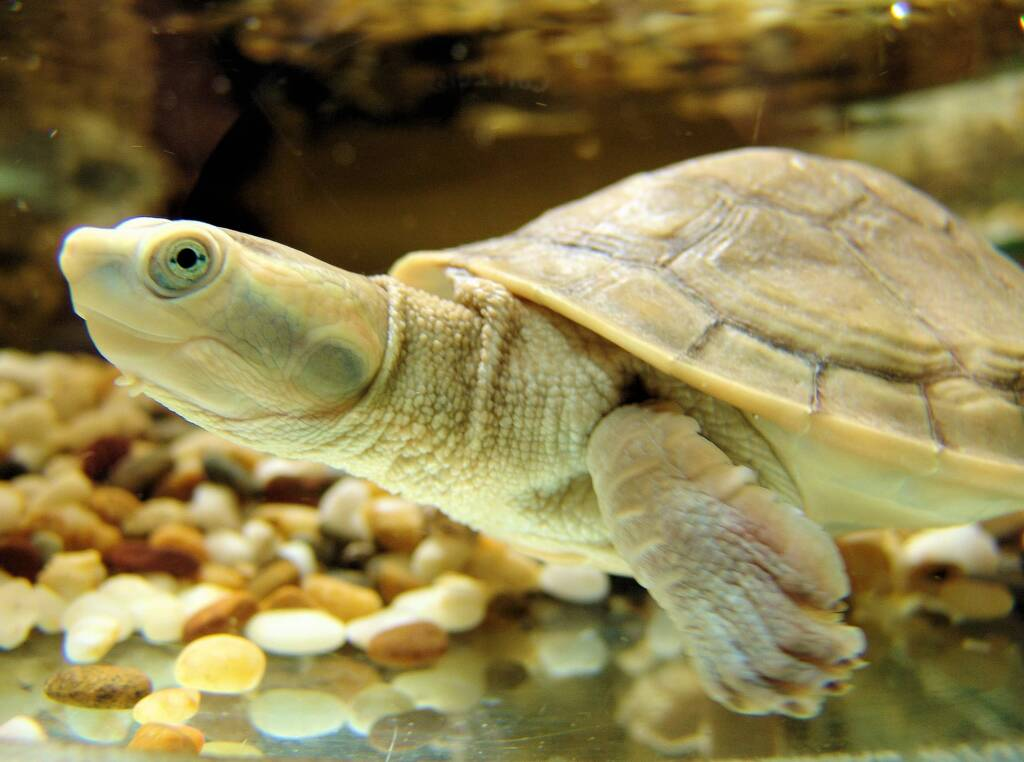 Diamond Head Turtle (Emydura subglobosa worrelli)