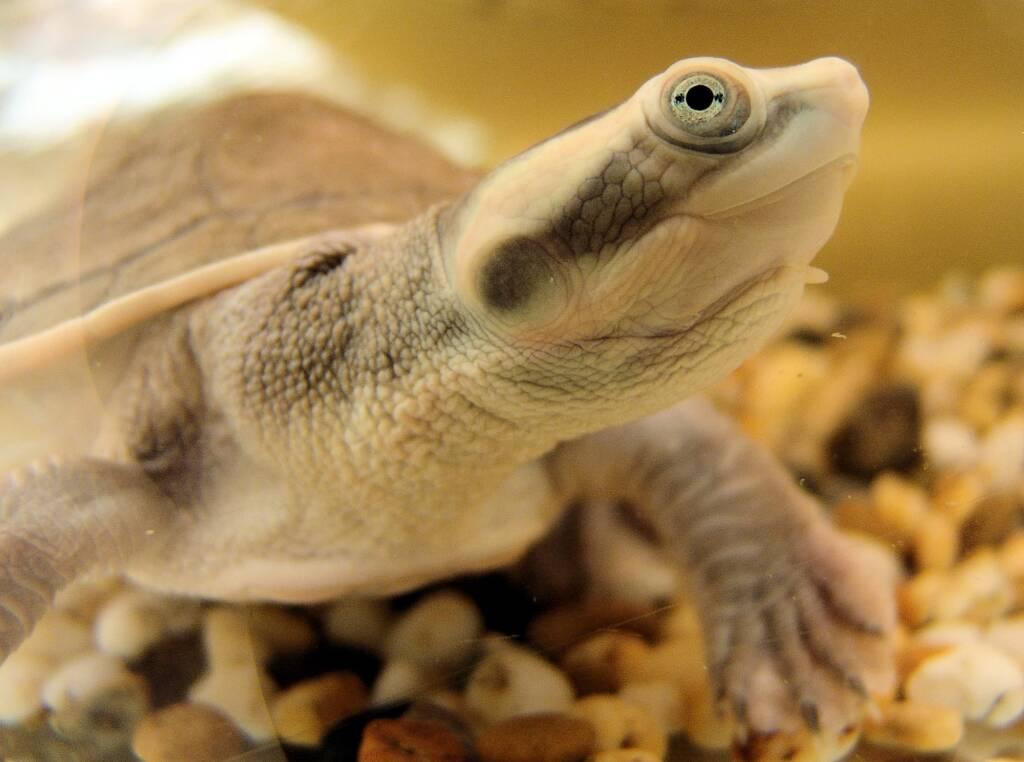 Diamond Head Turtle (Emydura subglobosa worrelli), Alice Springs Reptile Centre