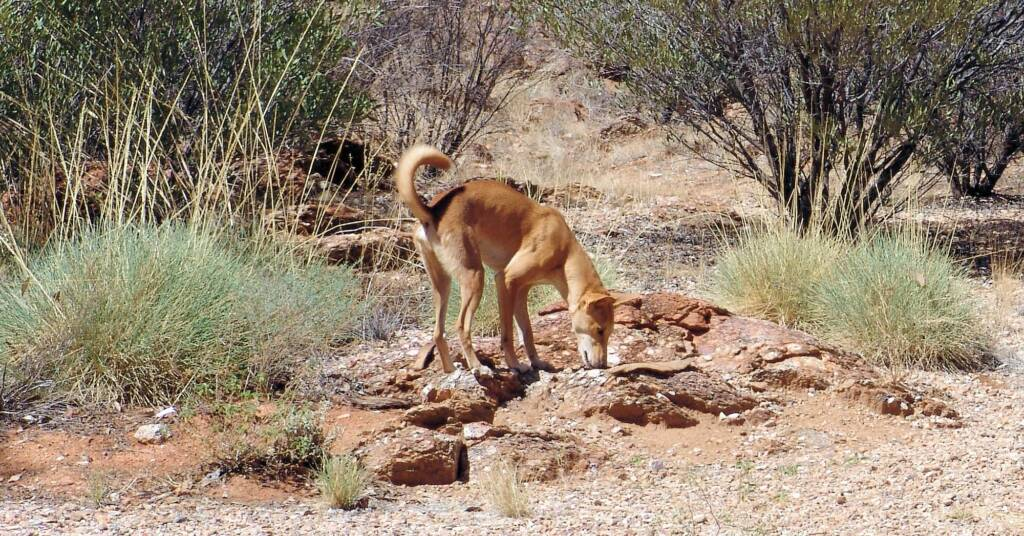 Dingo (Canis dingo), Alice Springs Desert Park
