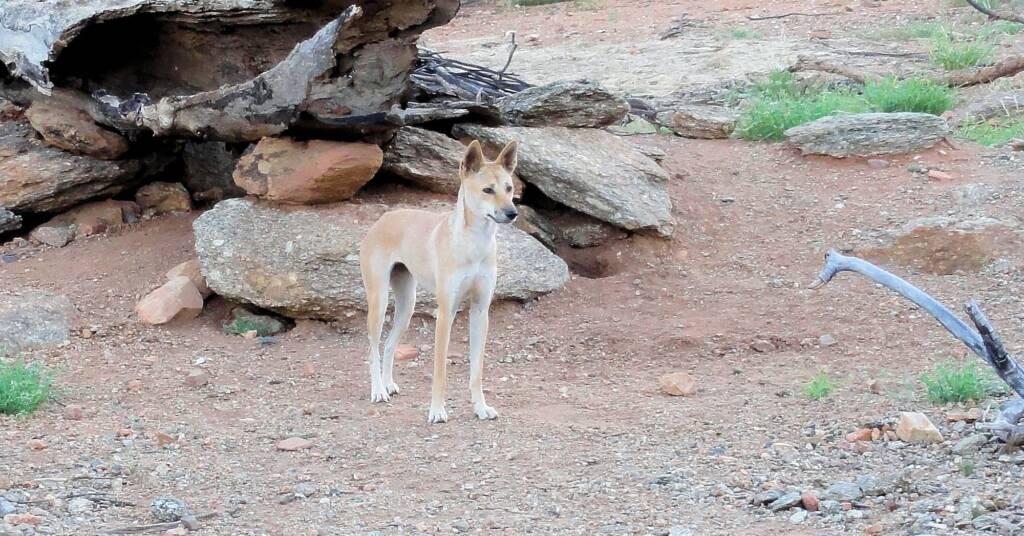 Canis dingo