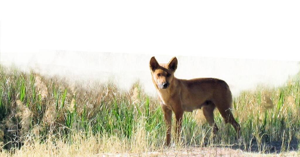 Dingo at Bogey Hole, Finke Gorge National Park
