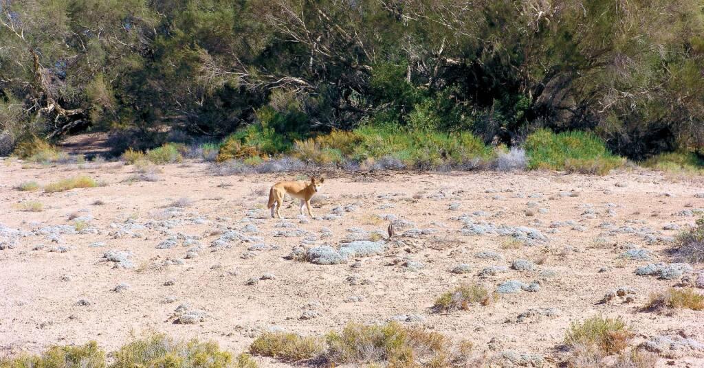 Dingo at Dalhousie Springs (species Canis lupus dingo, class Mammalia)