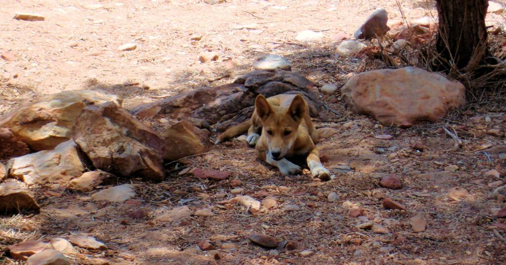 Young dingo at Ellery Creek Big Hole, West MacDonnell National Park