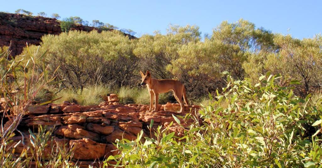 Dingo at Kings Canyon