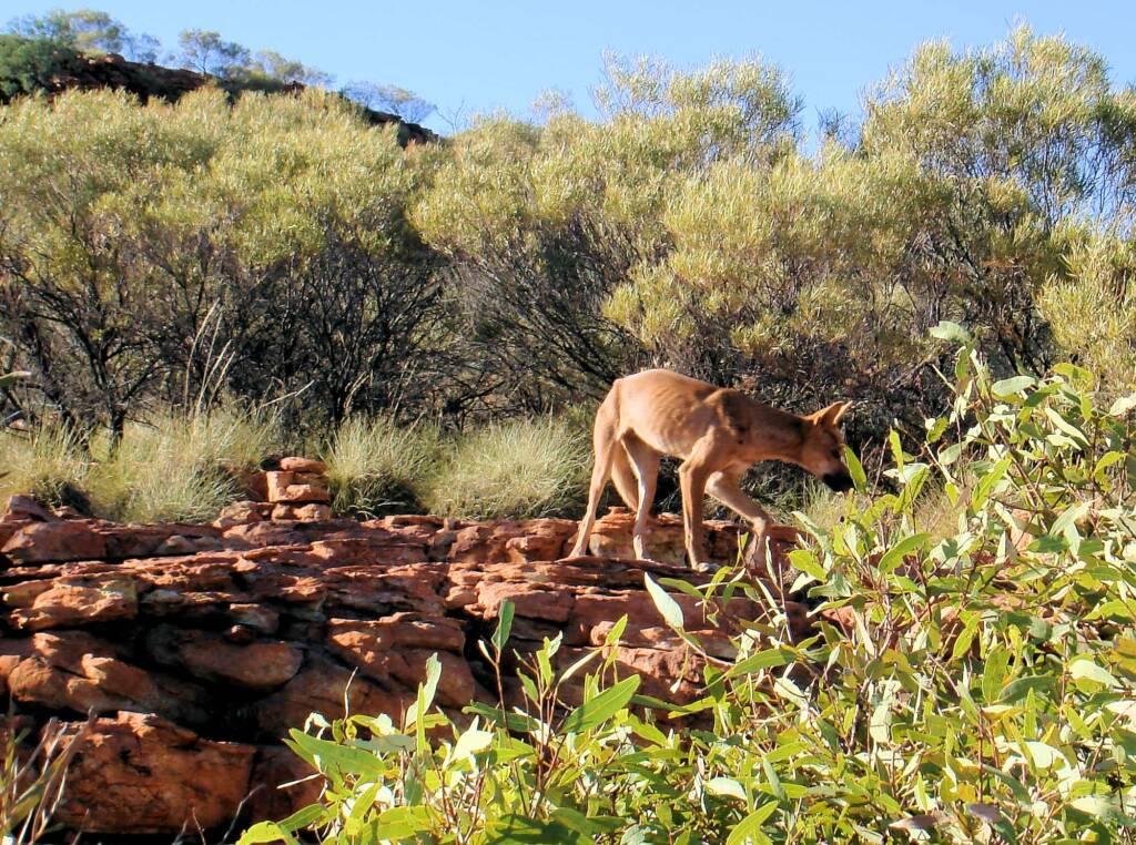 Dingo (Canis dingo), Kings Canyon