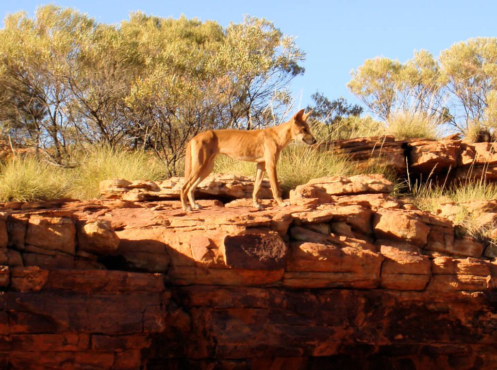 Dingo, Kings Canyon