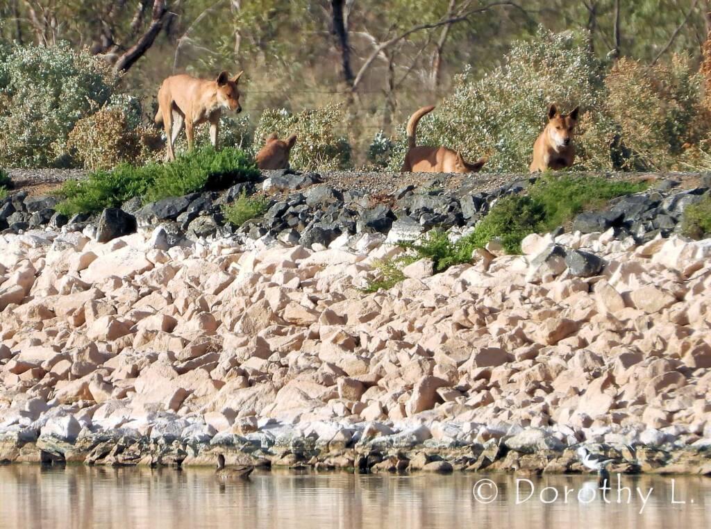 Dingo pack (Canis dingo), Alice Springs, NT