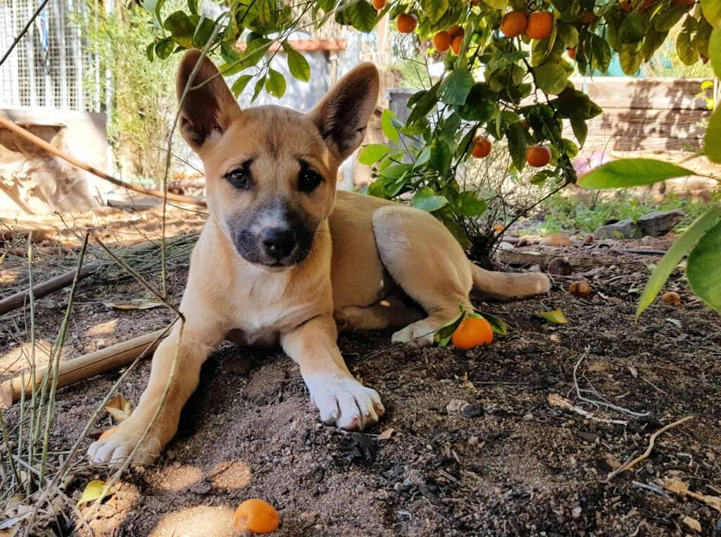 Dingo pup (Canis dingo), Alice Springs, NT