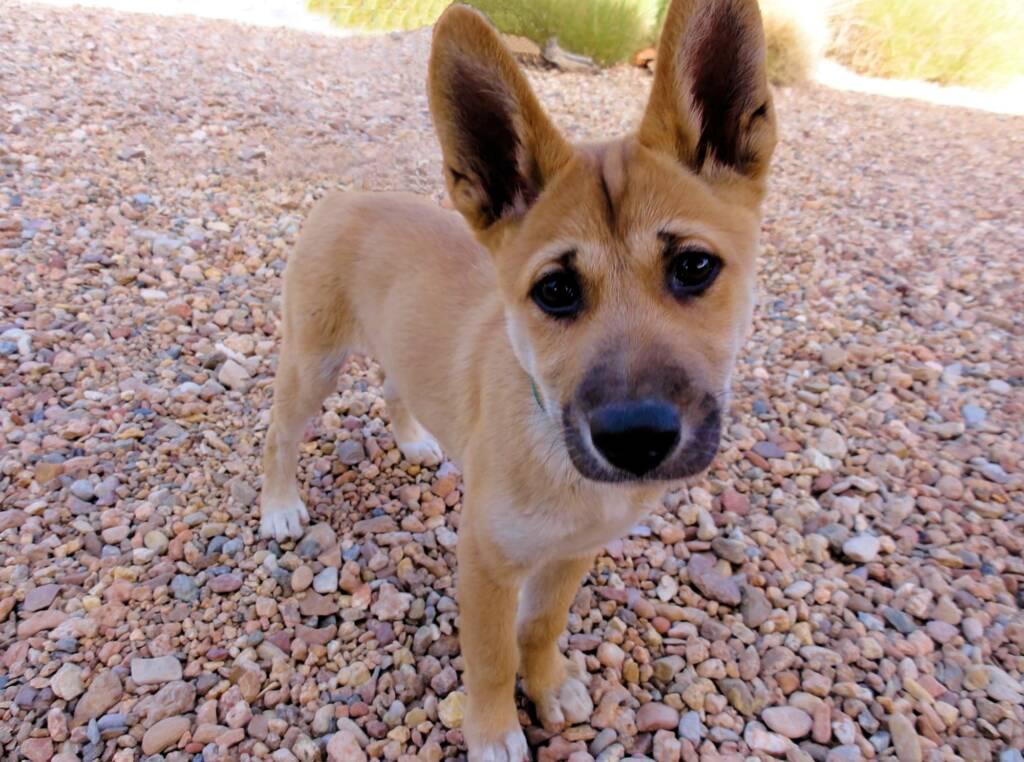 Dingo pup (Canis dingo), Alice Springs Desert Park