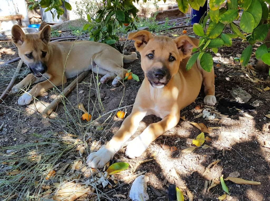 Dingo pups (Canis dingo), Alice Springs, NT