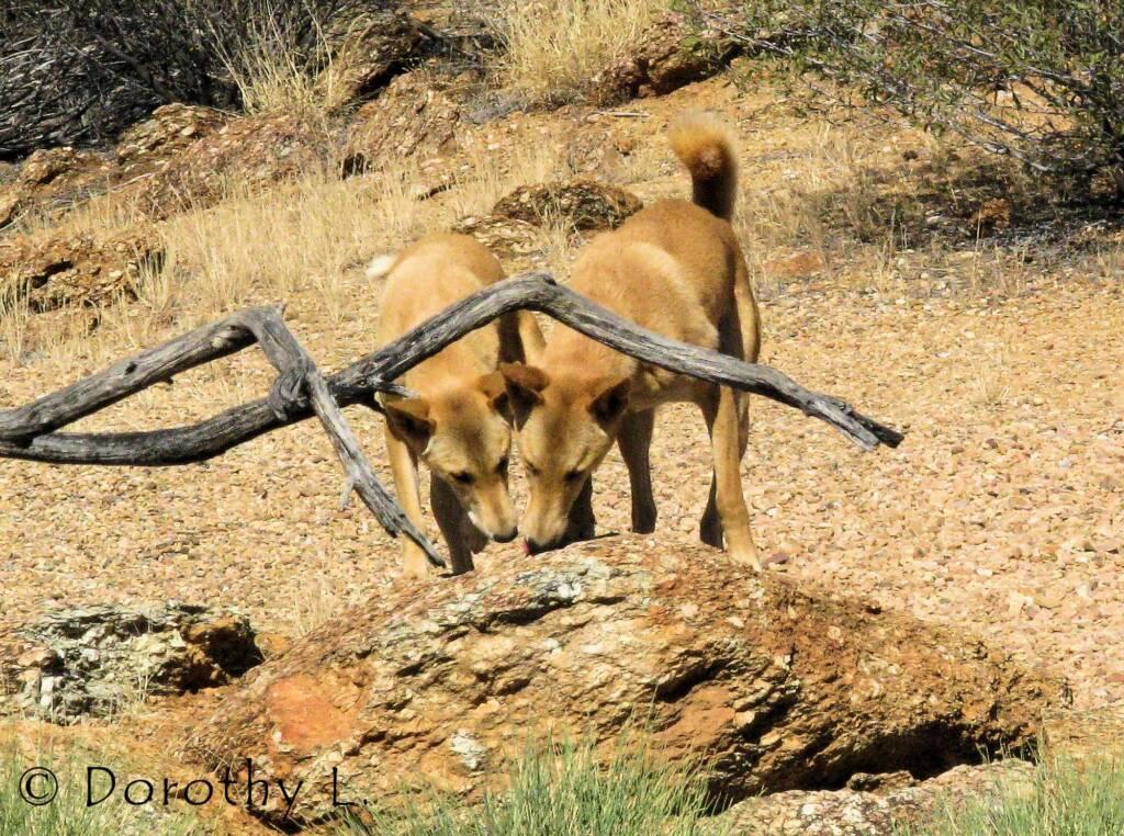 Dingoes (Canis dingo), Nature Theatre, Alice Springs Desert Park