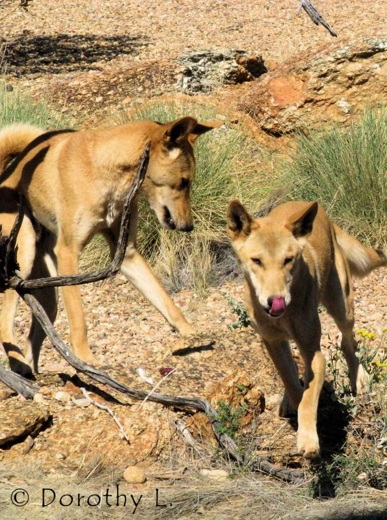 Dingoes (Canis dingo), Nature Theatre, Alice Springs Desert Park