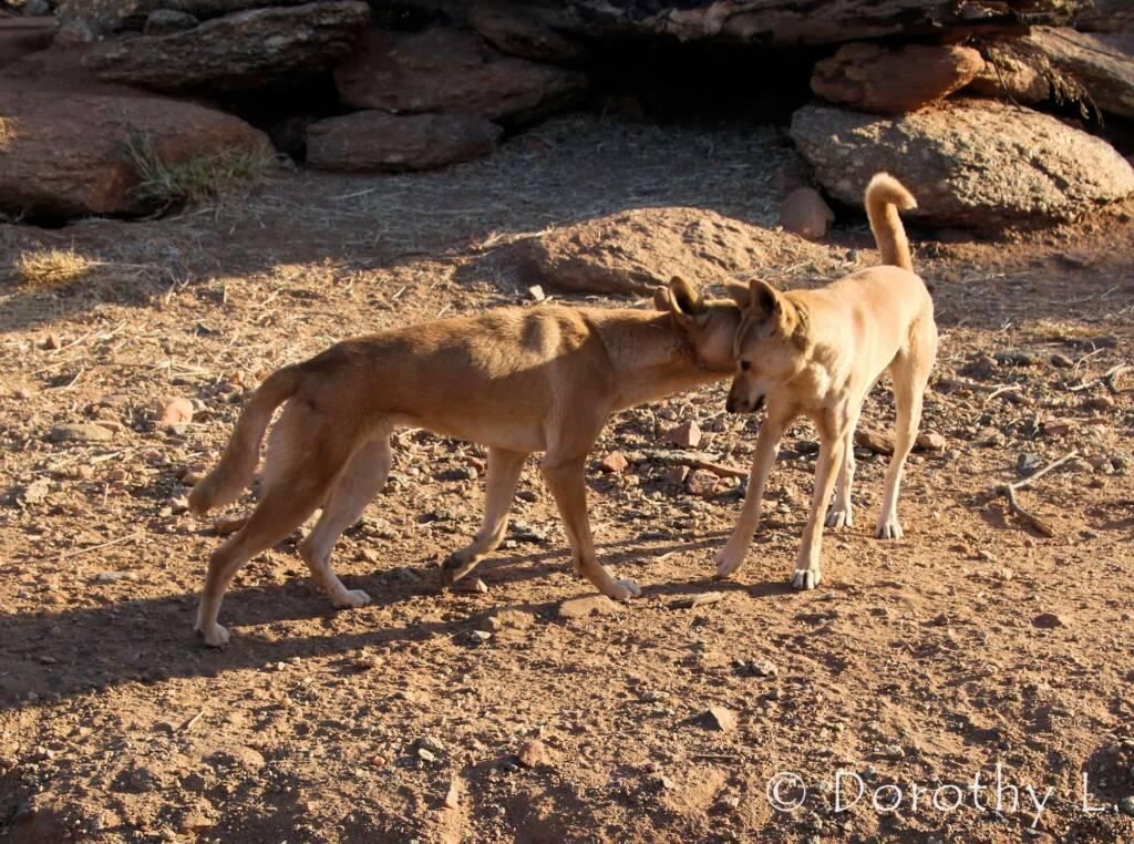 Dingoes (Canis dingo), Alice Springs Desert Park, NT