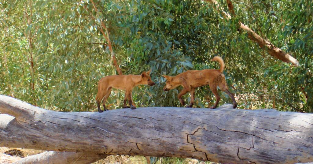 Young dingoes at Ellery Creek Big Hole, West MacDonnell Ranges