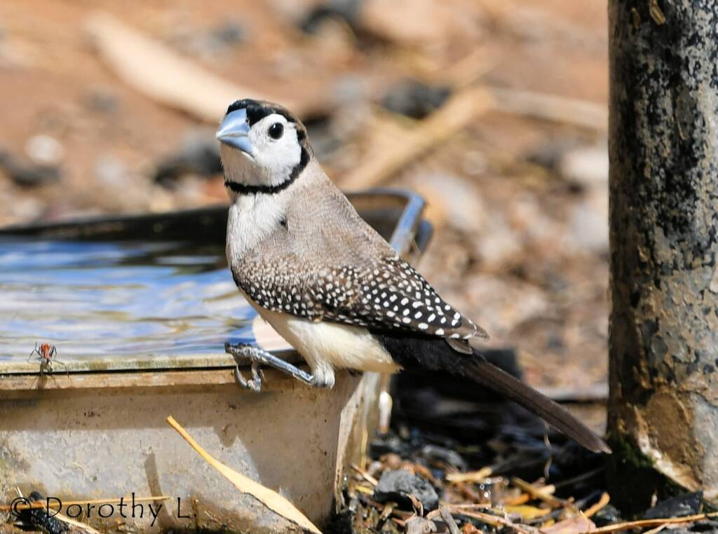 Double-barred Finch, south of Larrimah, NT