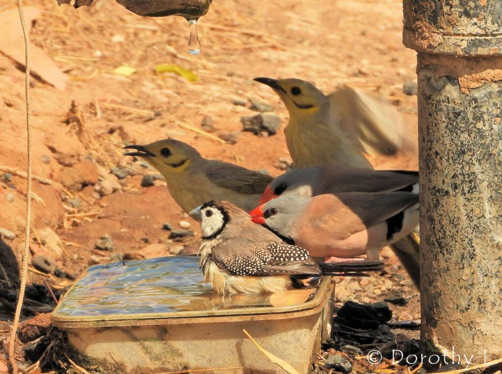 Double-barred Finch, Long-tail Finch and Yellow-tinted Honeyeater