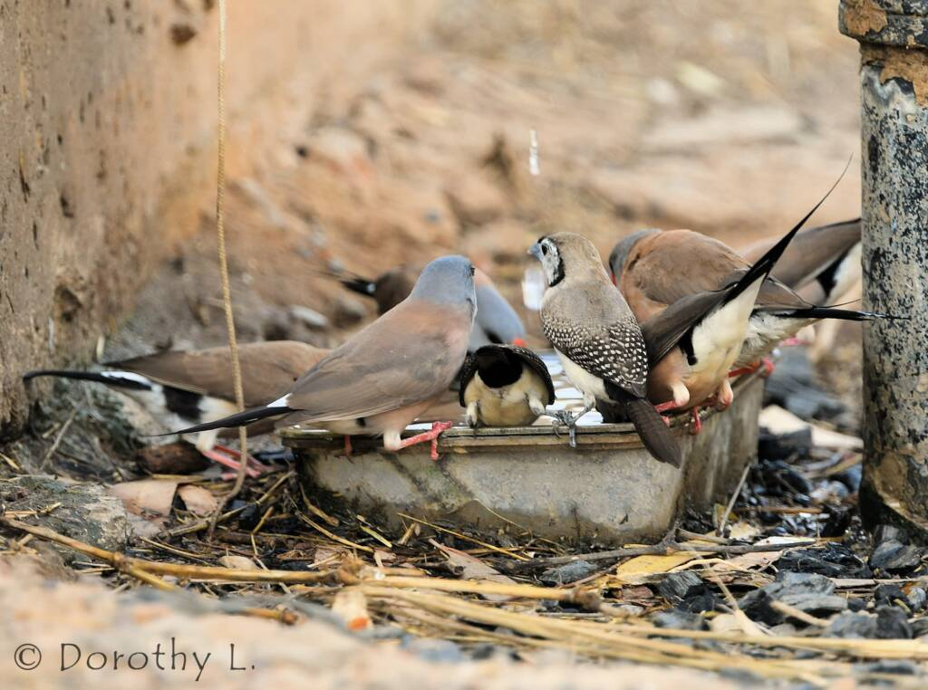 Double-barred Finch and Longtail Finches