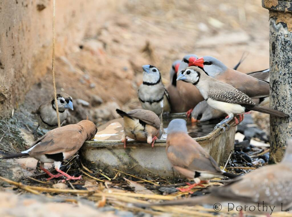 Double-barred Finches and Longtail Finches