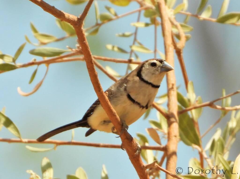 Double-barred Finch (Stizoptera bichenovii)