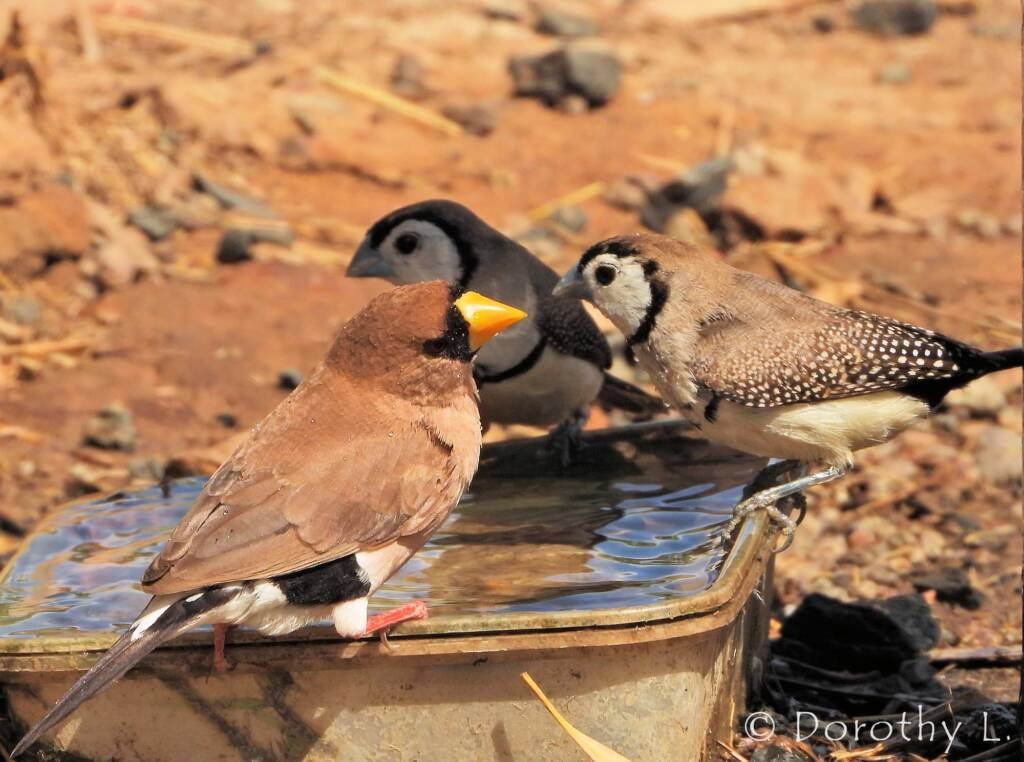 Double-barred Finch and Masked Finch
