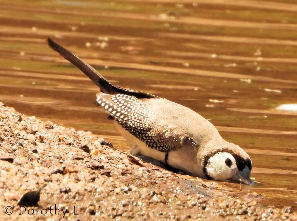 Double-barred Finch, Maud Creek, NT