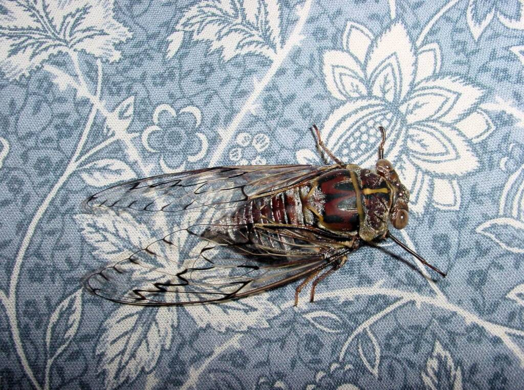 Double Drummer (Thopha saccata), Cicada