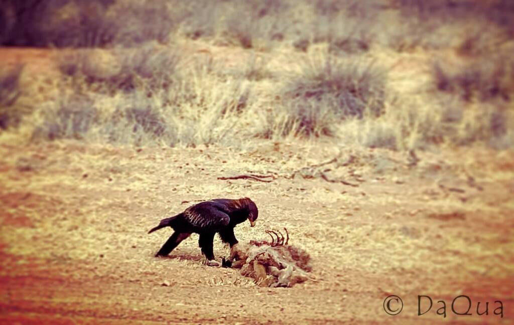 Eagle feasting on adult kangaroo road kill