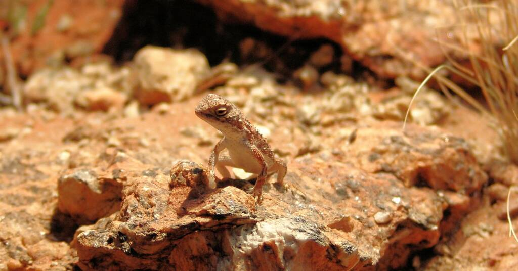 Earless Dragon (Tympanocryptis lineatra centralis), Alice Springs Desert Park