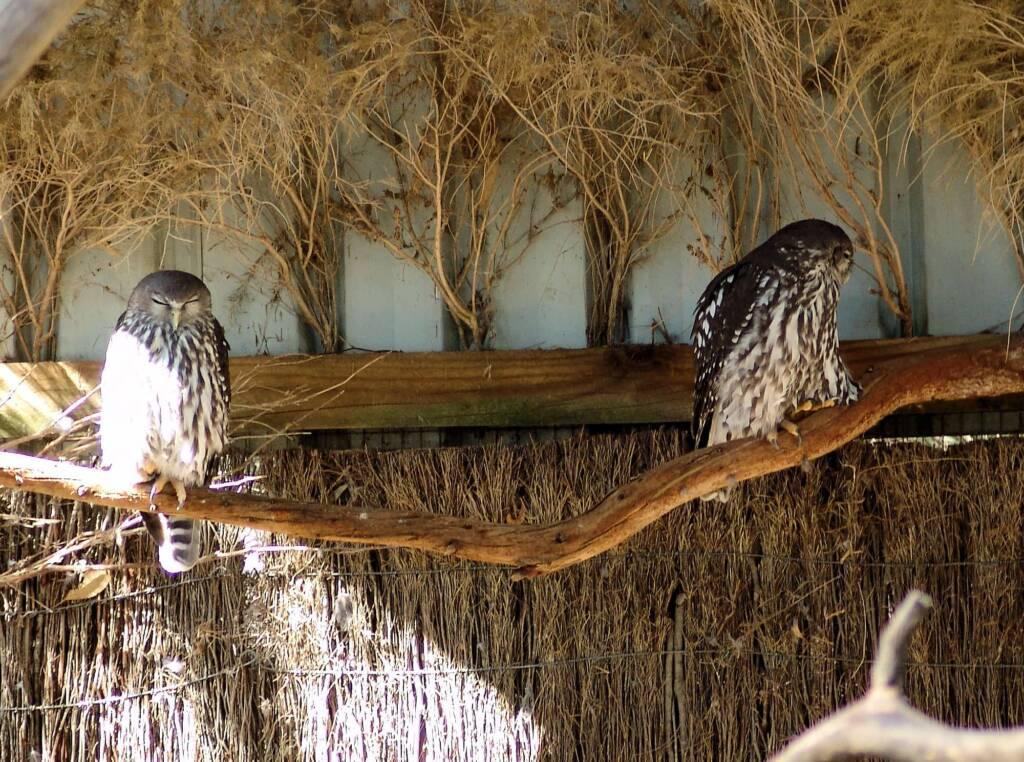 Eastern Grass Owls, Kyabram Fauna Park, VIC