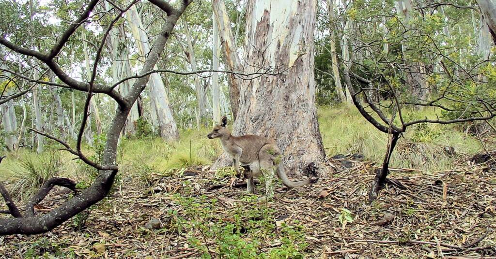Eastern Grey Kangaroo at Mount Kaputar National Park