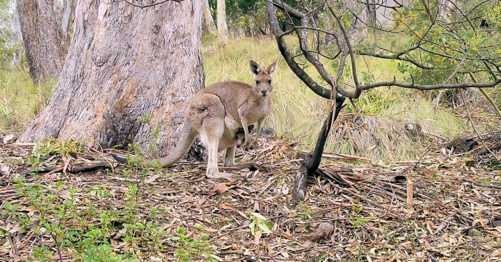 Eastern Grey Kangaroo with joey at Mount Kaputar National Park