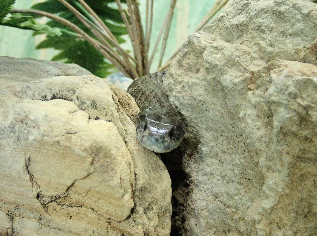 Eastern Tiger Snake, Kyabram Fauna Park, VIC